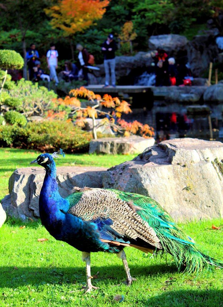Peacock Kyoto Garden