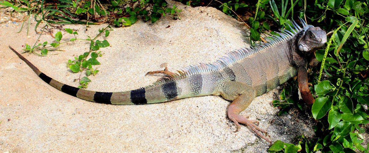 Iguana Tayrona