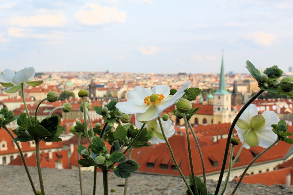 Flowers in Prague