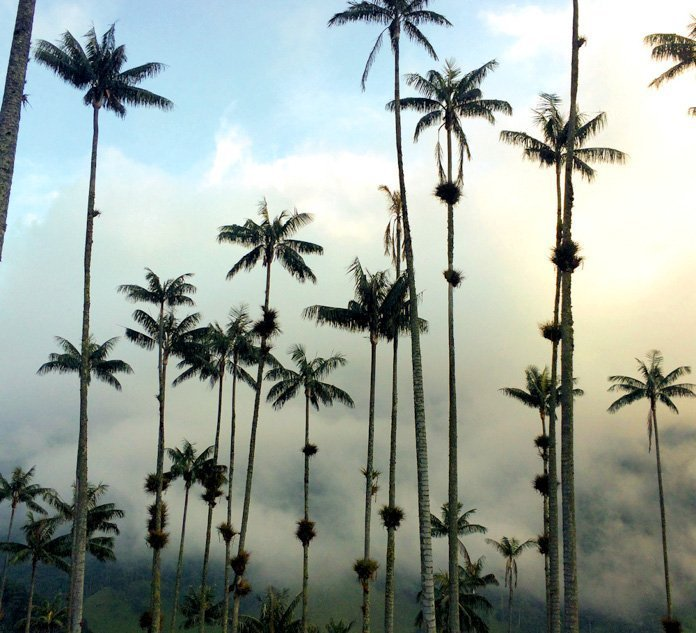 Valle de Cocora wax palms and clouds