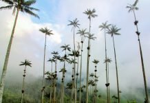 Wax Palms Valle de Cocora