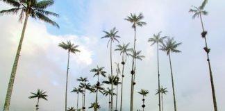Wax Palms Valle de Cocora