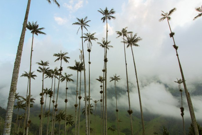 Wax palms Valle de Cocora hike